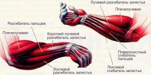 как накачать предплечья, анатомия мышц предплечья