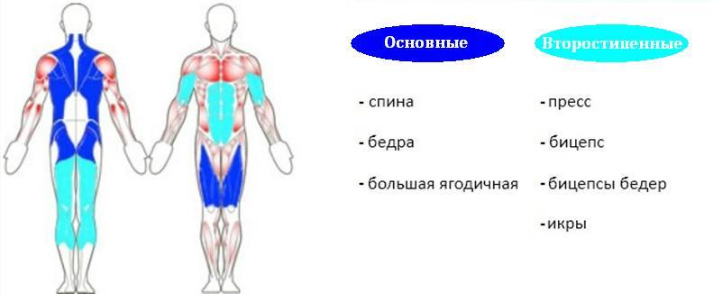 Становая тяга с гантелями - анатомия