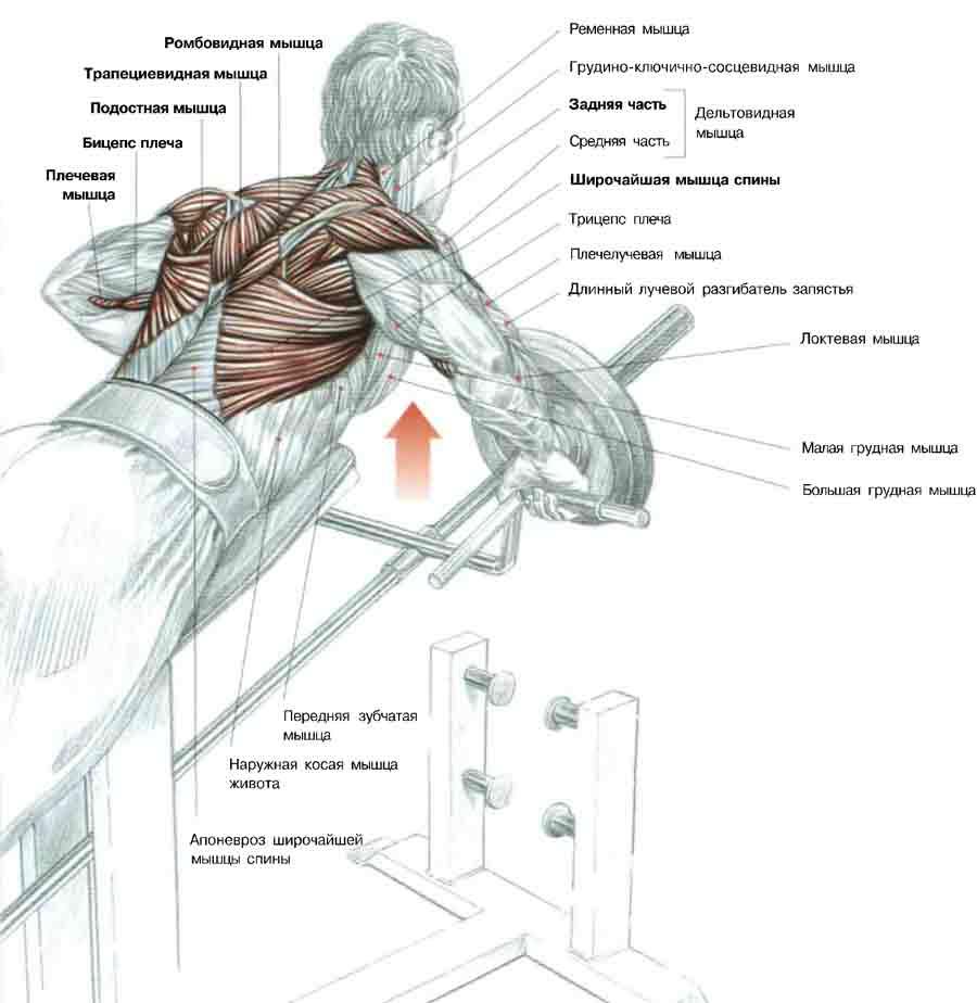 Тяга Т-грифа - мышцы