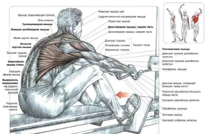 Тяга нижнего блока к поясу - мышцы