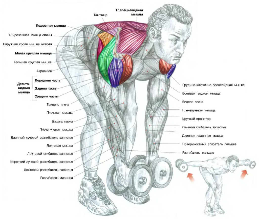 разведение гантелей в наклоне анатомия