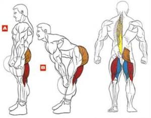Становая тяга на прямых ногах - анатомия