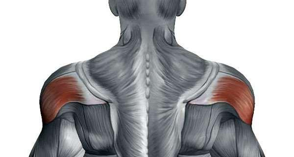 Тяга штанги к груди в наклоне - анатомия задних дельт