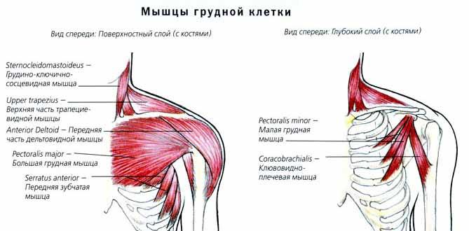 Анатомия грудака